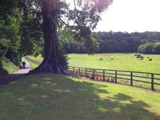 Beech tree, Fingal