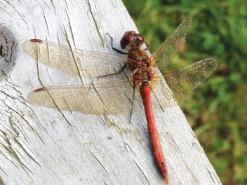 Common Darter dragonfly, Fingal